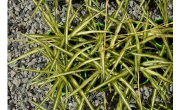 Chlorophytum Picturatum