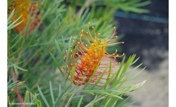 Grevillea Tangerine Dream (PBR)