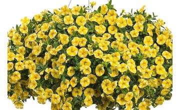 Calibrachoa Superbells Lemon Slice(PBR)