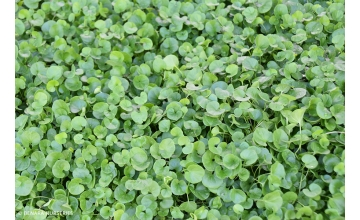 Dichondra repens - Perfect Pathways
