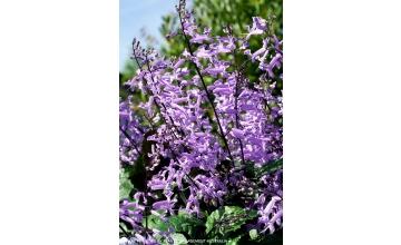 Plectranthus Mona Lavender (PBR)