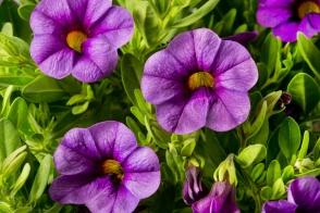 Calibrachoa Bouquet Amethyst (PBR)