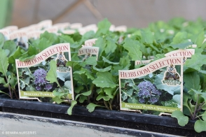Broccoli Purple Sprouting Diggers Tray