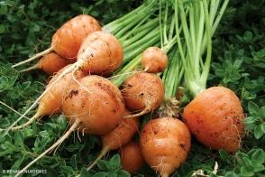Carrot Paris Market diggers Tray