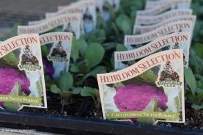 Cauliflower Sicily Purple Diggers Tray