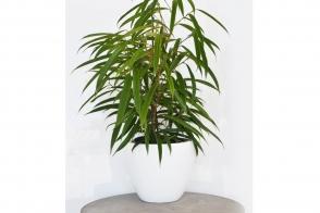Ficus Alii Petite