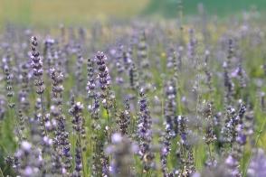 Lavender Miss Donnington