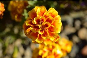 Marigold aurora
