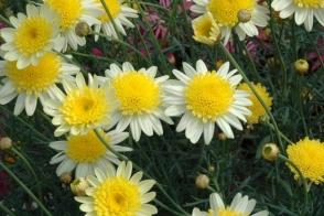 Argyranthemum Sunny Days (PBR)
