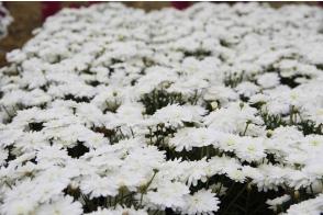 Argyranthemum Super Duper (PBR)