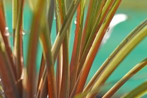 Cordyline australis Peko