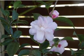 Camellia Cinnamon Cindy
