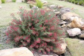 Grevillea ros 'H16' Crimson Villea™