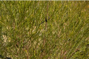 Melaleuca preissiana