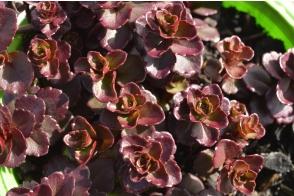 Sedum purpurea