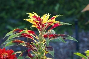 Amaranthus Flying Colours Tray