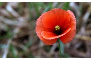 Poppy Flanders Red Tray