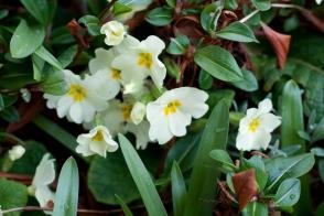 Primula Gilhams White Tray