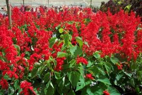 Salvia Blaze of Fire Tray
