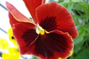 Pansy Happy Face Red Tray