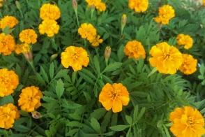 Marigold Boy O Boy Orange Tray