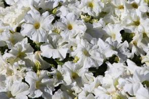 Petunia Dreams White Tray