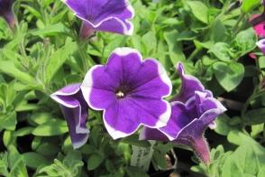 Petunia Picotee Blue Tray