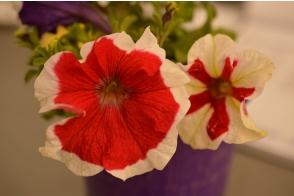 Petunia Picotee Red Tray