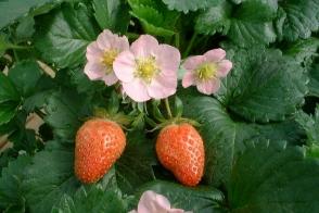 Strawberry Pink Tray