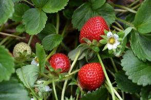 Strawberry Tarpan Tray