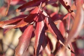 Fraxinus angustifolia Raywood