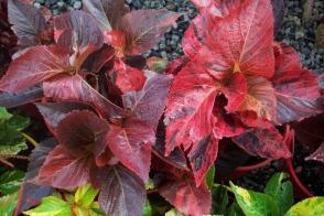 Acalypha wilkesiana Red