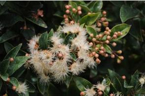 Syzygium Aussie Boomer PVR