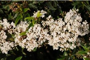 Viburnum tinus Anvi PVR