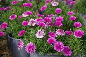 Argyranthemum Sunday Best (PBR)