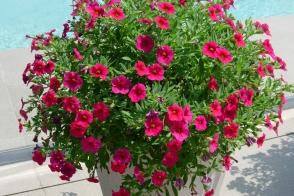 Calibrachoa Cherry Chimes PVR