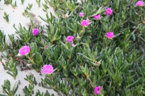 Carpobrotus virescens
