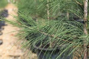 Casuarina equisetifolia incana