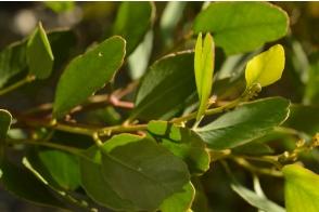 Eucalyptus Platypus Platypus