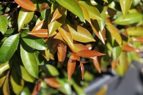 Syzygium Bush Christmas PVR