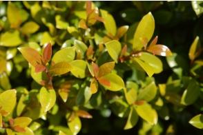 Syzygium australae Pinnacle (PBR)