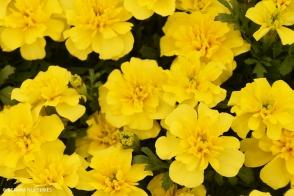 Marigold Boy O Boy Yellow Tray