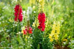 Antirrhinum Red & Yellow Tray