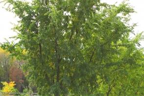 Ulmus InSpire (PBR)