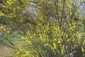 Acacia extensa
