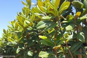 Magnolia Greenback (PBR)