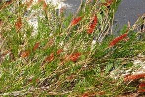Grevillea Brush Tail Red (PBR)