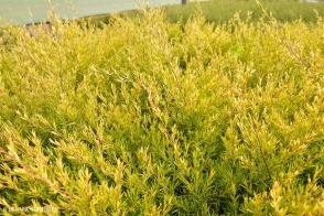 Leptospermum Little Lemon Scents (PBR)