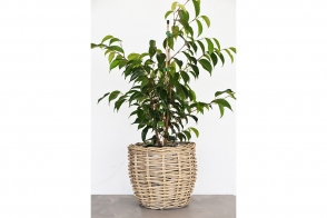 Ficus Midnight Beauty (PBR)