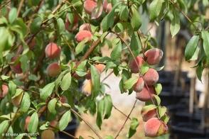 Peach Anzac